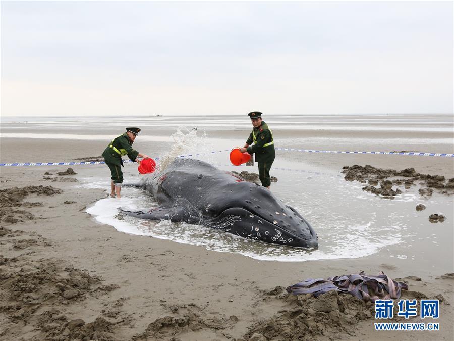 #(社會)(1)江蘇啟東:營救擱淺座頭鯨